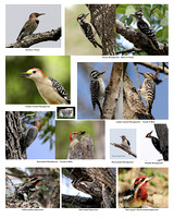 Woodpeckers of CBNP
