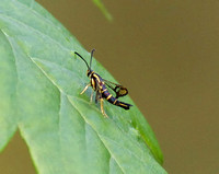Clearwing Borer Moth