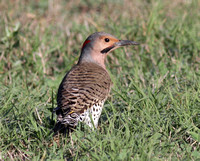 Northern Flicker Yellow-shafted male
