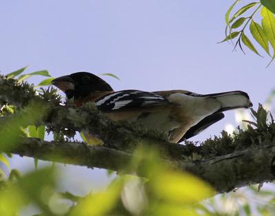 Black-headed Grosbeak 5/5/14