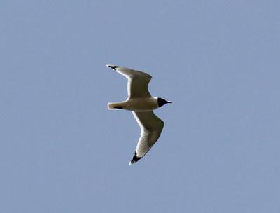 Franklin's Gull flyover