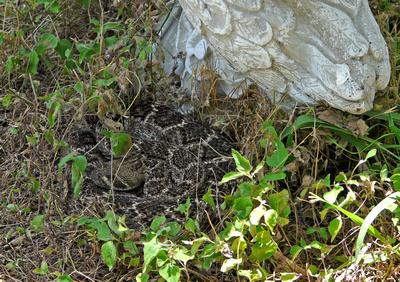 Diamondback Rattlesnake by Bill Skinner
