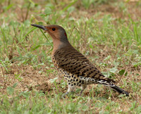 Northern Flicker Yellow-shafted female
