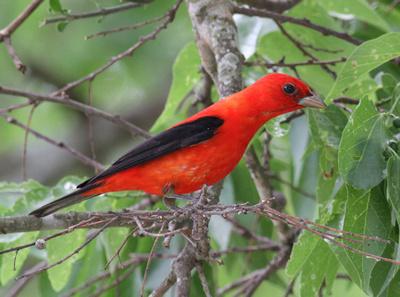 Scarlet Tanager 4/16/13