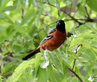 Orchard Oriole male